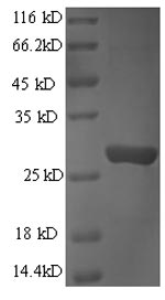 SDS-PAGE- Recombinant protein Human GZMB