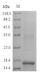 SDS-PAGE- Recombinant protein Mouse Hba