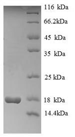SDS-PAGE- Recombinant protein Human HIST1H2AG