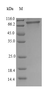 SDS-PAGE- Recombinant protein Human HNRNPM