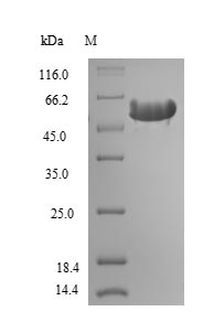 SDS-PAGE- Recombinant protein Rat Hpx