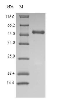 SDS-PAGE- Recombinant protein Human IDO1