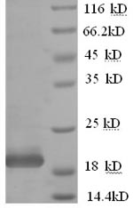 SDS-PAGE- Recombinant protein Human IFNA10