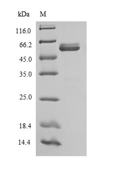 SDS-PAGE- Recombinant protein Sheep IL12B