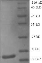 SDS-PAGE- Recombinant protein Dog IL4