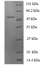SDS-PAGE- Recombinant protein Sheep IL6