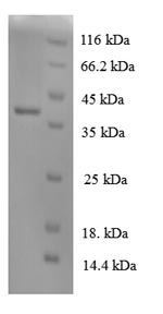 SDS-PAGE- Recombinant protein Dog IL8
