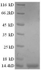 SDS-PAGE- Recombinant protein Sheep IL8