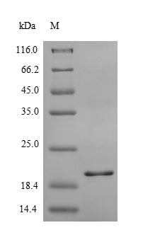 SDS-PAGE- Recombinant protein Human CXCR2
