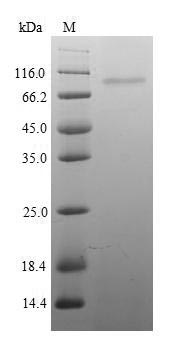 SDS-PAGE- Recombinant protein Mouse Itgb1