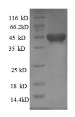 SDS-PAGE- Recombinant protein Rat Kif1c