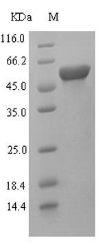 SDS-PAGE- Recombinant protein Rat Kmo