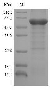 SDS-PAGE- Recombinant protein Bovine L2HGDH