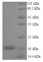 SDS-PAGE- Recombinant protein Mouse Lgals7