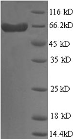 SDS-PAGE- Recombinant protein Human LGALS9