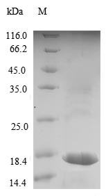 SDS-PAGE- Recombinant protein Dog LHB