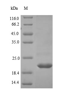 SDS-PAGE- Recombinant protein Human LRP4