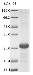 SDS-PAGE- Recombinant protein Mouse Ly75