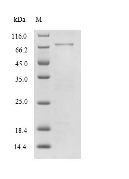 SDS-PAGE- Recombinant protein Human MAG