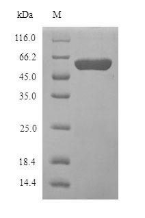 SDS-PAGE- Recombinant protein Human MAOB