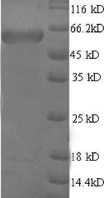 SDS-PAGE- Recombinant protein Mouse Map2