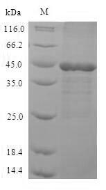 SDS-PAGE- Recombinant protein Human MAPK3