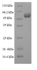 SDS-PAGE- Recombinant protein Human MMP13