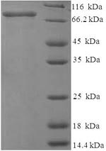 SDS-PAGE- Recombinant protein Rat Mmp2