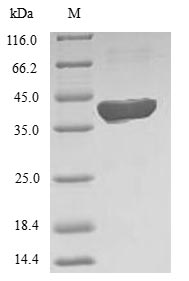 SDS-PAGE- Recombinant protein Human MTHFS