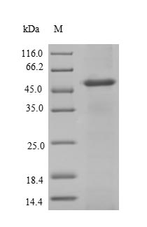 SDS-PAGE- Recombinant protein Human NAT2