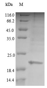 SDS-PAGE- Recombinant protein Human PAEP