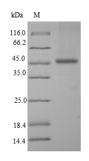SDS-PAGE- Recombinant protein Human PALM