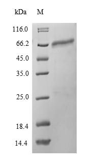 SDS-PAGE- Recombinant protein Mouse Pdia2