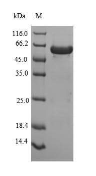 SDS-PAGE- Recombinant protein Human PEX19