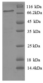 SDS-PAGE- Recombinant protein Human PLTP