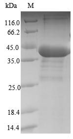 SDS-PAGE- Recombinant protein Human PPP1CB