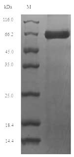 SDS-PAGE- Recombinant protein Mouse Prf1
