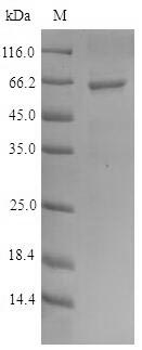 SDS-PAGE- Recombinant protein Human PRIM1