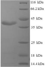 SDS-PAGE- Recombinant protein Pig PRL