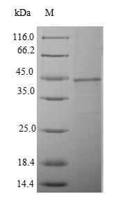 SDS-PAGE- Recombinant protein Mouse Tmprss15