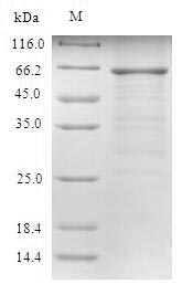 SDS-PAGE- Recombinant protein Human RAD23A
