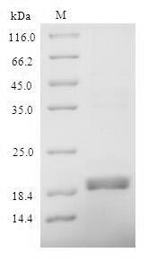 SDS-PAGE- Recombinant protein Mouse Reg3g