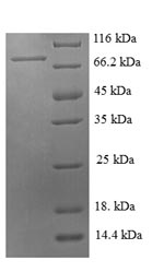 SDS-PAGE- Recombinant protein Pig SELE