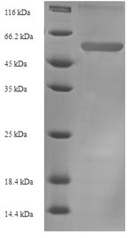 SDS-PAGE- Recombinant protein Mouse Serpine1