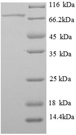 SDS-PAGE- Recombinant protein Rat Serpinf1
