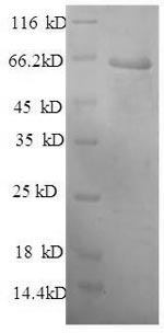 SDS-PAGE- Recombinant protein Mouse Serping1
