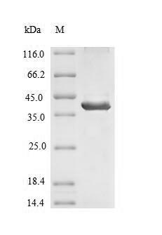 SDS-PAGE- Recombinant protein Human SIRPB1