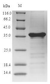 SDS-PAGE- Recombinant protein Human SNCA