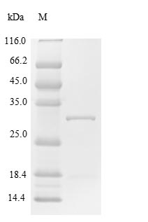 SDS-PAGE- Recombinant protein Human SOCS1