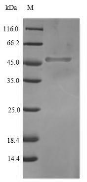 SDS-PAGE- Recombinant protein Human SOX2